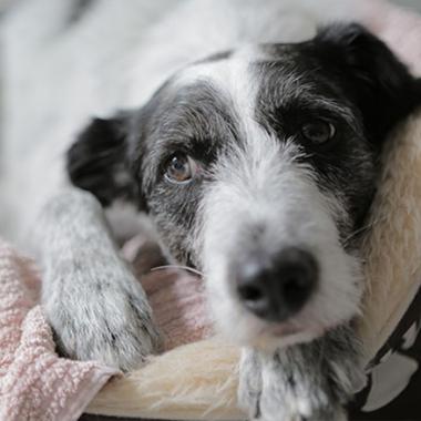 Duende, einer unserer Bürohunde