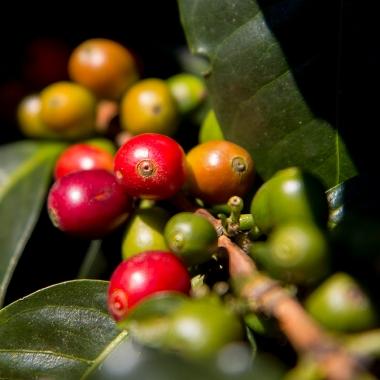 Edle Kaffeesorten der besten Qualität - die Voraussetzung für unsere Grands Crus