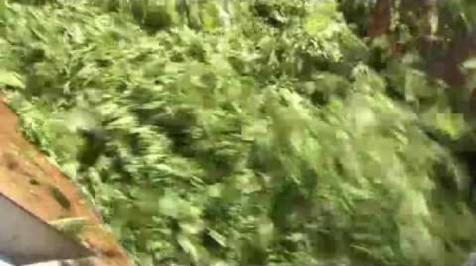 Verarbeitung von Spinat bei der BINA in Bischofszell