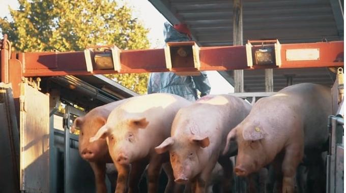 Vion Transparenzfilm Schwein